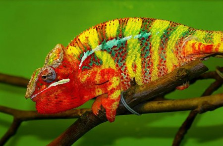 Chameleon pardálí tamatave